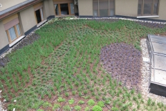 Giardino pensile con Aiuga e sisyrinchium curato da noi presso Fondazione Ferrario, Vanzago.